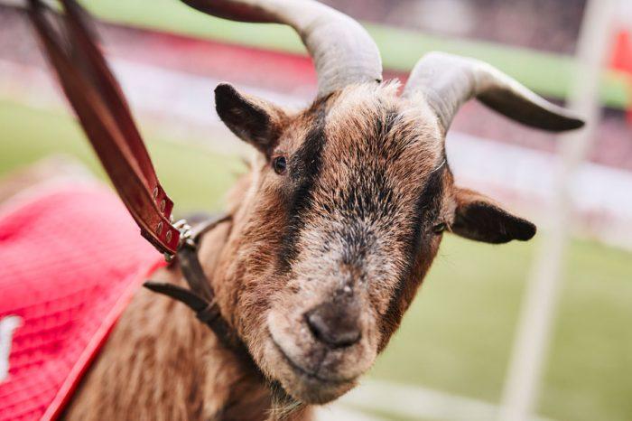 FC Koln Mourns The Death Of Former Club Mascot, Goat Hennes VIII